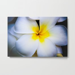 Hawaian Flower - A Plumeria Metal Print