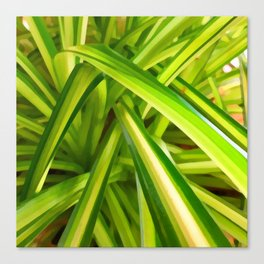 Spider Plant Leaves Canvas Print