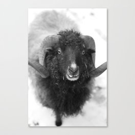 The black sheep, black and white photography Canvas Print