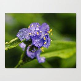 spiderwort with raindrops Canvas Print