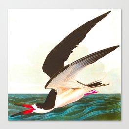 Black Skimmer or Shearwater Bird Canvas Print