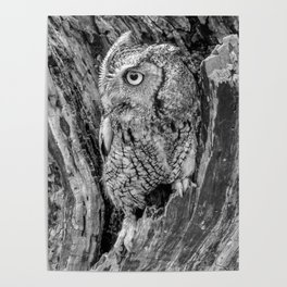 Echo the Screech Owl by Teresa Thompson Poster