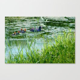 Coot with young ones Canvas Print