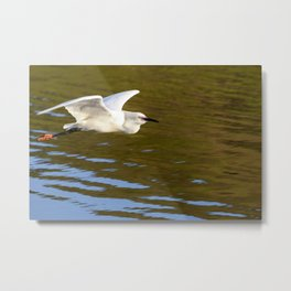 A Snowy Egret flies in the morning sunlight looking for a place to fish. Metal Print