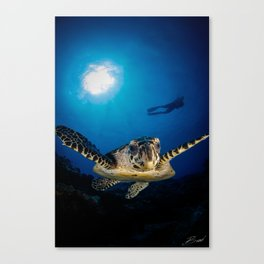 Hawksbill turtle and diver in Palau Canvas Print
