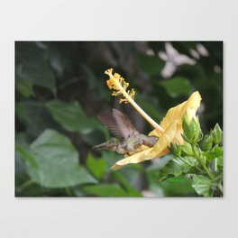 Hibiscus and Visitor Canvas Print