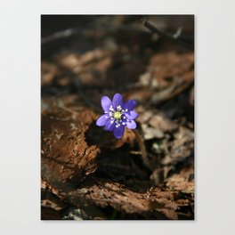 Hepatica nobilis in the humus Canvas Print