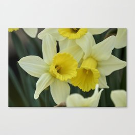 daffodils bloom in spring in the garden Canvas Print