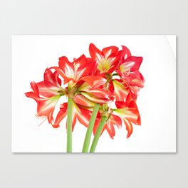 Red Amaryllis in Bloom Canvas Print
