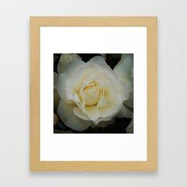 White Rose In The Morning Framed Art Print