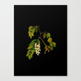 Robinia Pseudacacia Paper Flower Collage Vintage Botanical Floral Art Mary Delany Canvas Print