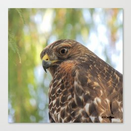 Young Red-Shouldered Hawk in a Desert Willow Canvas Print