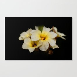 Yellow Mexican Satin Flowers Canvas Print