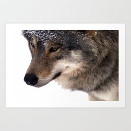 Wolf In the Snow Art Print