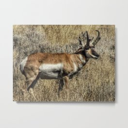 Pronghorn Buck Metal Print