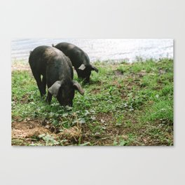 Pigs Snacking Canvas Print
