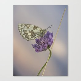 Marbled White at Sunset Canvas Print