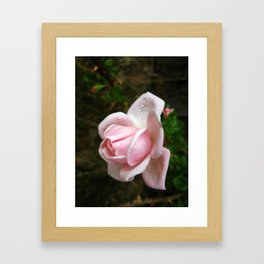 Blooming Light Pink Rose with Water Drops Framed Art Print