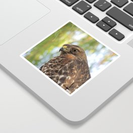 Young Red-Shouldered Hawk in a Desert Willow Sticker