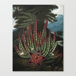 The Maggot-bearing Stapelia - The Temple of Flora Canvas Print