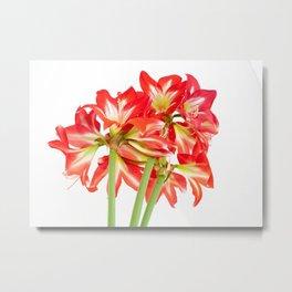 Red Amaryllis in Bloom Metal Print