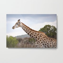 Beautiful close-up of Giraffe in South Africa Metal Print