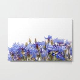 Bunch of blue cornflower flowerheads Metal Print