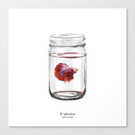 betta fish (red) Canvas Print