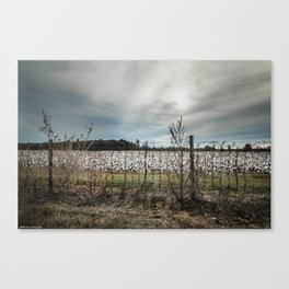 Florida Cotton Fields  Canvas Print