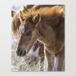 Salt River Sleepy Foal Canvas Print