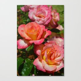 Coral colored roses Canvas Print
