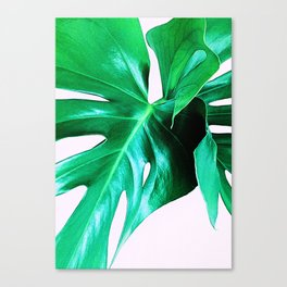 Cheese Plant Leaves Canvas Print