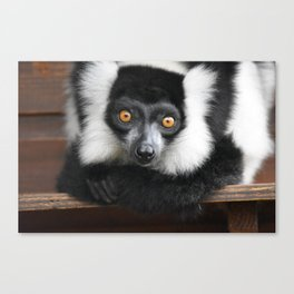 white-ruffed lemur Canvas Print