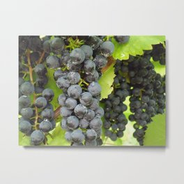 Harvest Ready! Metal Print