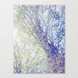 Spring sun silver birch Canvas Print