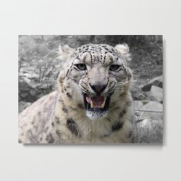 Angry snow leopard Metal Print