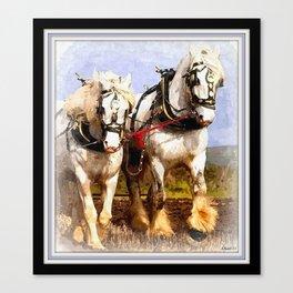 White Shire Horses.  Canvas Print