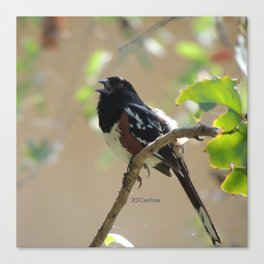 Spotted Towhee Scopes the Oak Grove Canvas Print