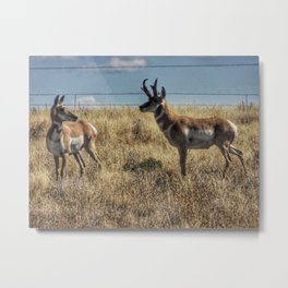 Prarie Pronghorn Metal Print
