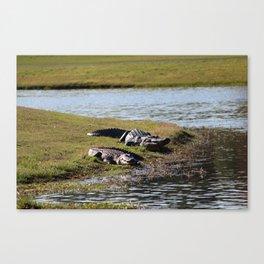Big And Huge Alligators Canvas Print