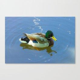 Ducks swimming Canvas Print