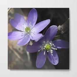 Woodland hepatica, Anemone acutiloba - a sure sign of spring Metal Print