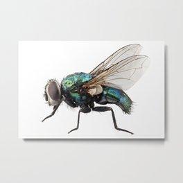 Blow fly species Lucilia caesar Metal Print