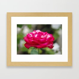 Rose of Love Framed Art Print