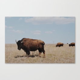 Big Horn Bison Canvas Print