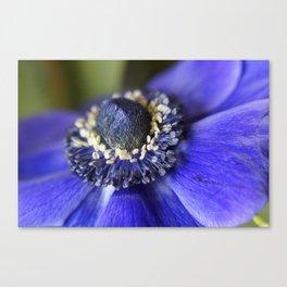 Blue Crown Anemone Canvas Print