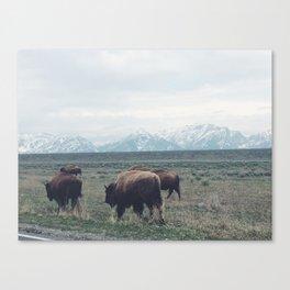 Roaming Buffalo Canvas Print
