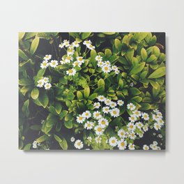 Flower. Feverfew. Metal Print