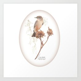 Say's phoebe (Sayornis saya) Art Print