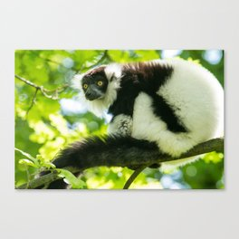 Black-and-white Ruffed Lemur Canvas Print
